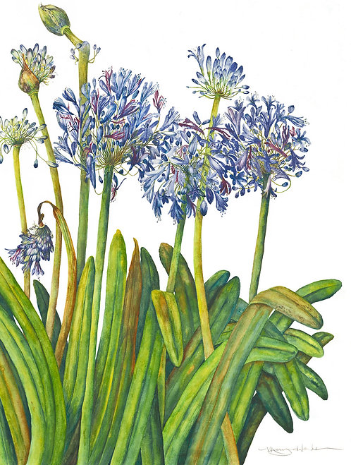 Agapanthus Lily of the Nile