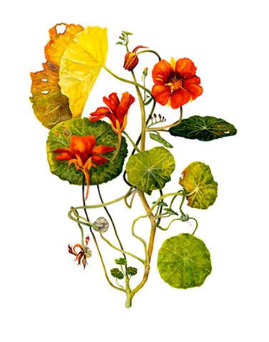 Nasturtium Capucine, Tropaeolum magus, watercolor