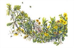 Golden Aster, Heterotheca sessilifolia, watercolor.