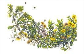 Golden Aster, Heterotheca sessilifolia, watercolor