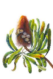 Old Man Banksia, Banksia serrata, watercolor