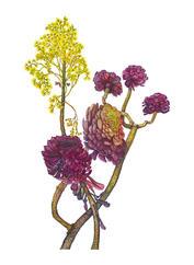 Black Rose, Aeonium, Aeonium arboretum 'Zwartkop', watercolor.