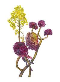 Black Rose, Aeonium, Aeonium arboretum 'Zwartkop', watercolor