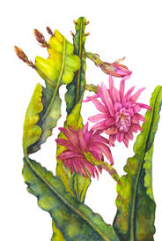 Orchid Cactus, Epiphyllum 'Pink', watercolor