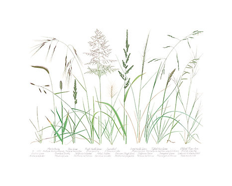 California Native Grasses