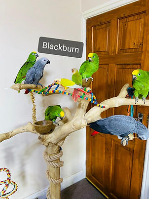 amazon,african grey, Ringneck and love birds