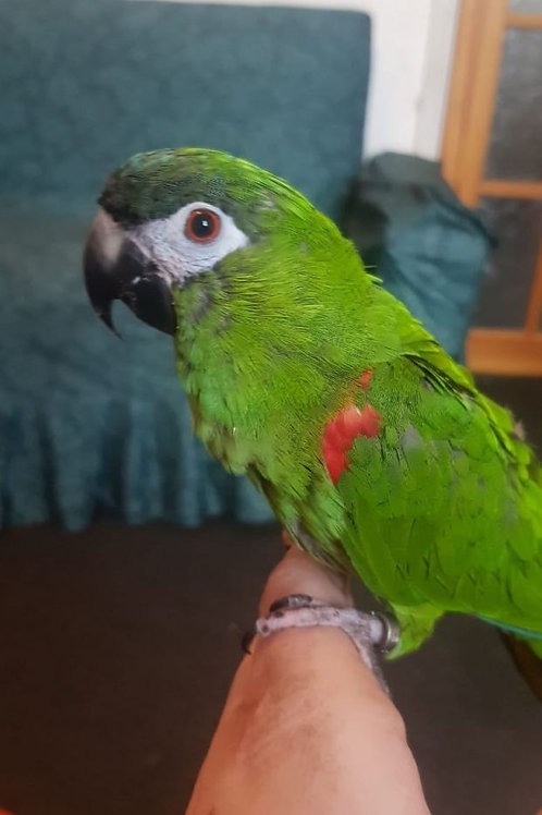Lovely Hand tame Hahns Macaw