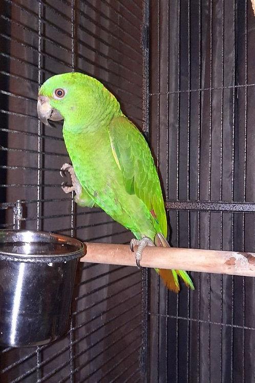 Baby Yellow Naped Amazon Parrot