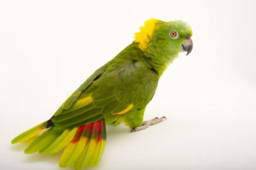 Yellow Amazon