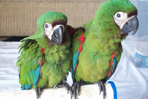 Cuddly Tame Chestnut Fronted Macaw