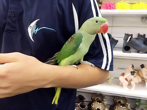 Hand Reared And Tame Baby Alexandrine!