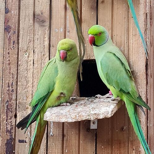 Beautiful Ringneck Parrots For Sale