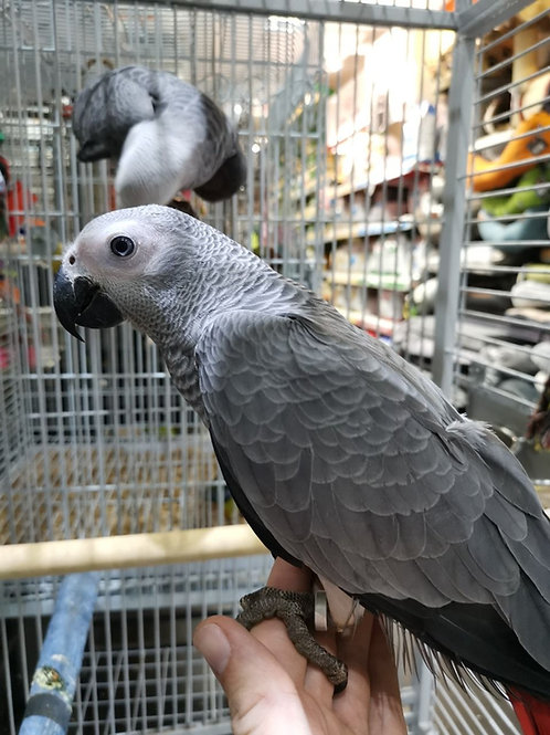 2 Hand Reared African Grey Parrots