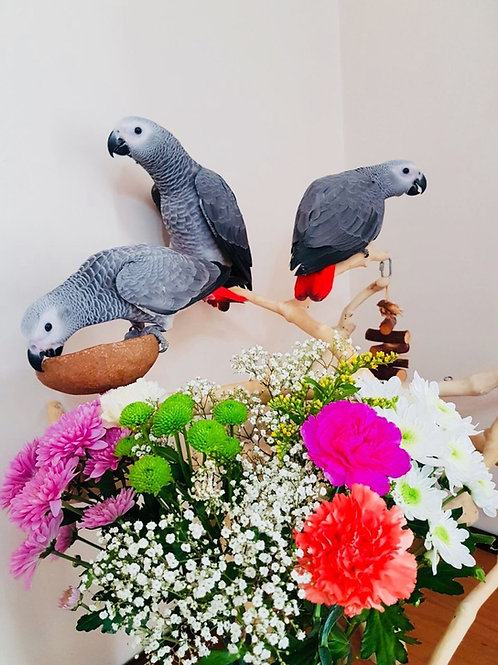 3 Tame African Grey Parrots