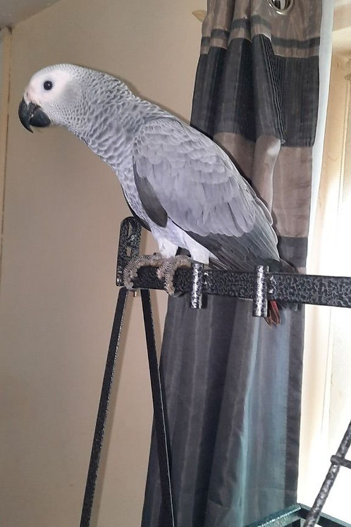 Beautiful Baby Hand Reared African Greys