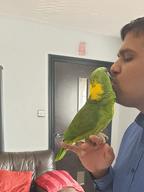 Hand Reared Yellow Naped Amazon Parrot For Sale