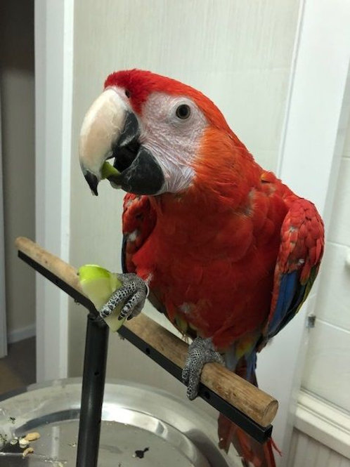 *Rare* Scarlet Macaw, 10 Months Old *tame*