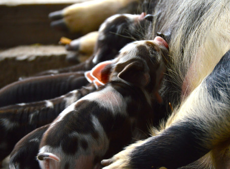Let's Talk Pricing: The Controversial Topic in the Kunekune World