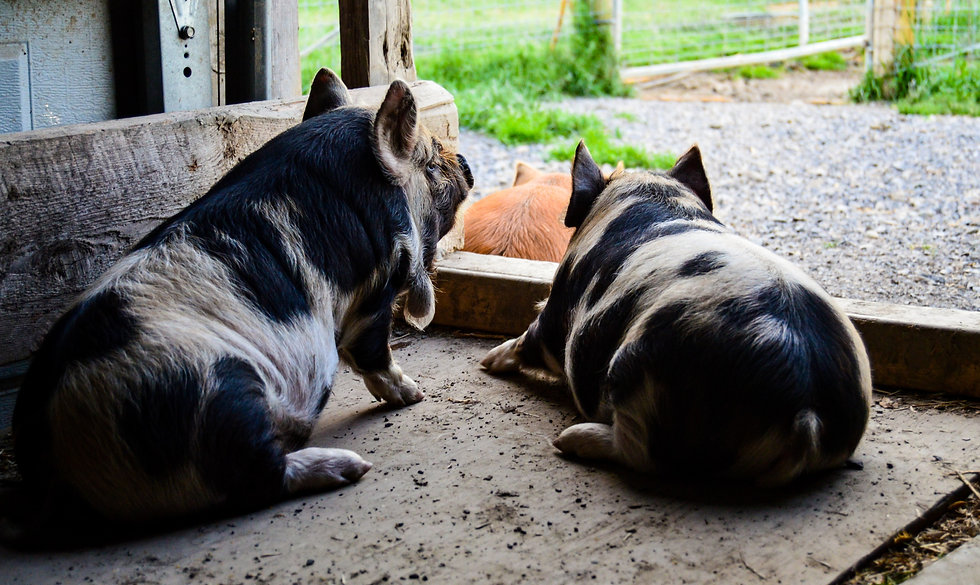 piglets looking out of the barn door