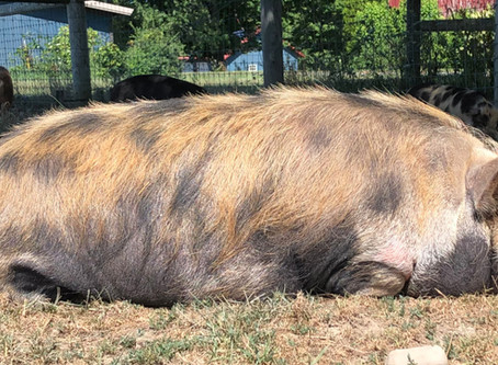 Kunekune Hair Loss.  What's up with that?