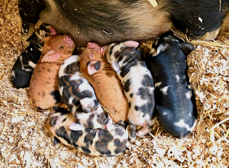 Correlation Between Colostrum Intake and Future Fertility