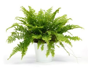 0709141708940_imageeditor_boston-fern-pl