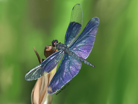 What is the difference between: Dragonflies and Damselflies?