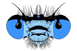 Damselfly Face - Colored
