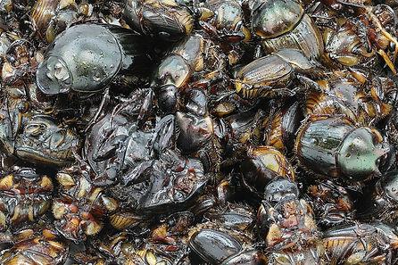 1280px-Fried_beetles.jpg