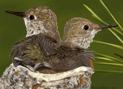 Hummingbirds - No Text