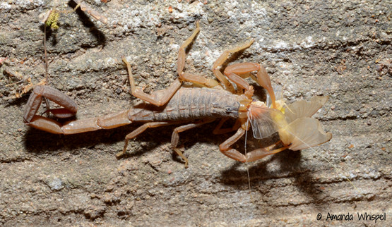A scorpion with a mayfly snack