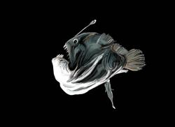 Anglerfish - No Text