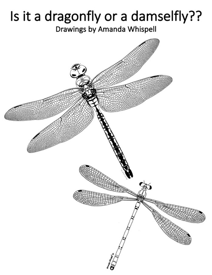 Is it a dragonfly or a damselfly?