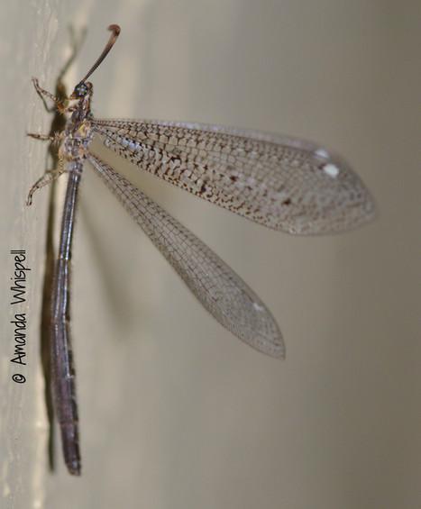 Myrmeleon imamaculatus