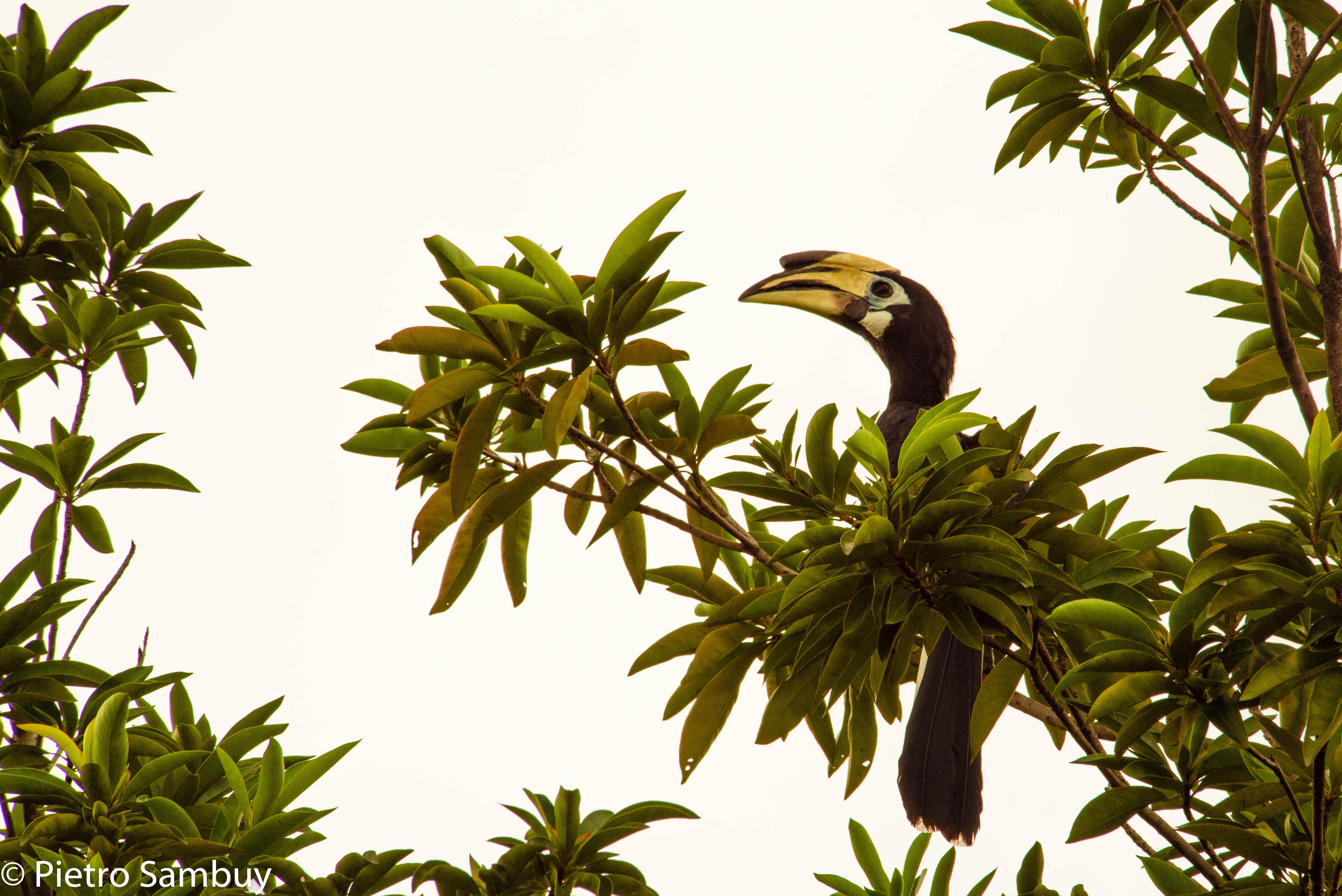 Hornbill in Singapore