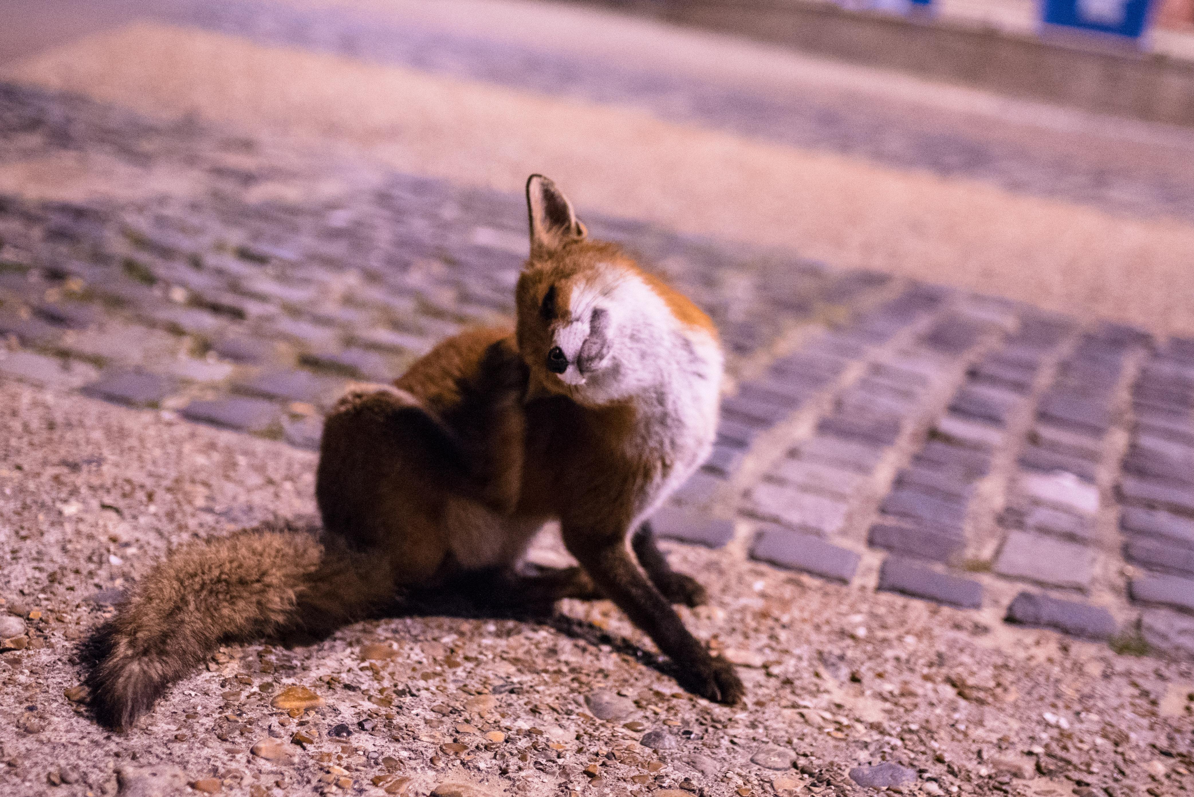 Fox in Brighton