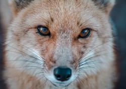 Andean fox (zorro culpeo)