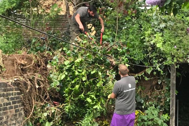 pruning wallclimbing shrub
