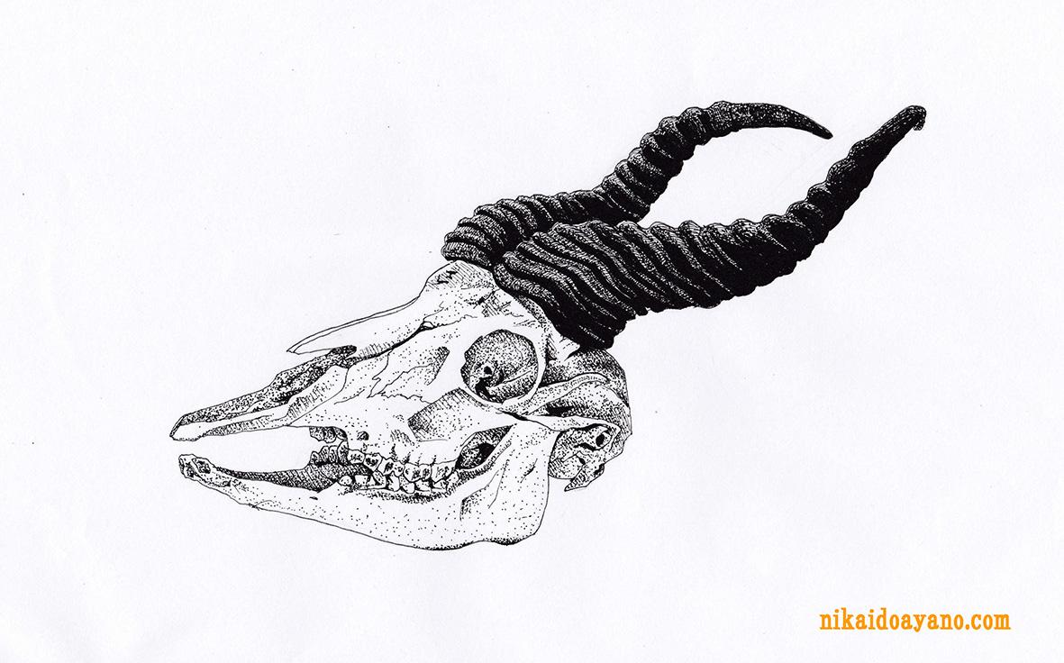 スプリングボックの骨