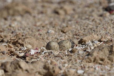 Least Tern eggs