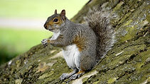 A grey squirrel sitting on a tree