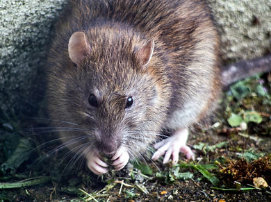 A brown rat eating scraps of food in your garden