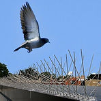 A pigeon trying to land on some pigeon spikes