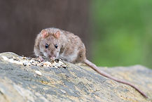 a brown rat eating scraps