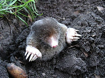 A mole digging up a lawn and making a mess