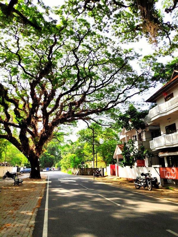 Rain Trees around Fort Kochi