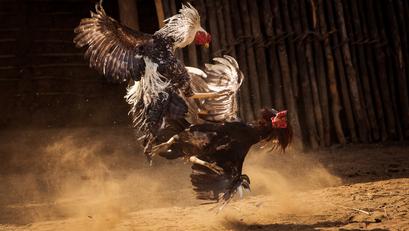 Pagkakaisa ng Game Fowl Associations, Ikinatuwa ng GAB