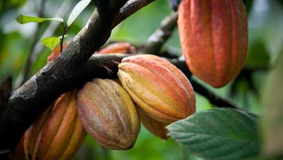 Davao, Kinilala bilang Cacao Capital ng Pinas