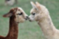 alpaca[1].jpg
