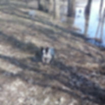 miniature heeler by pond